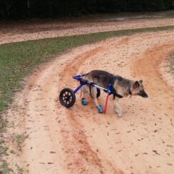 physically disabled german shepherd