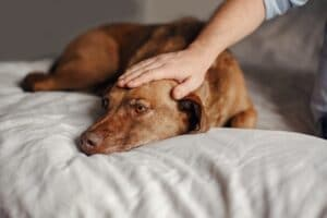 Treat High Blood Pressure in Dogs