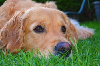 golden retriever, dog, grass